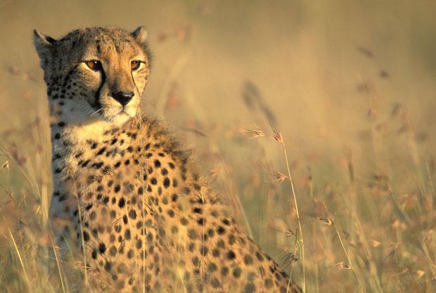 Cheetah1_2063838i