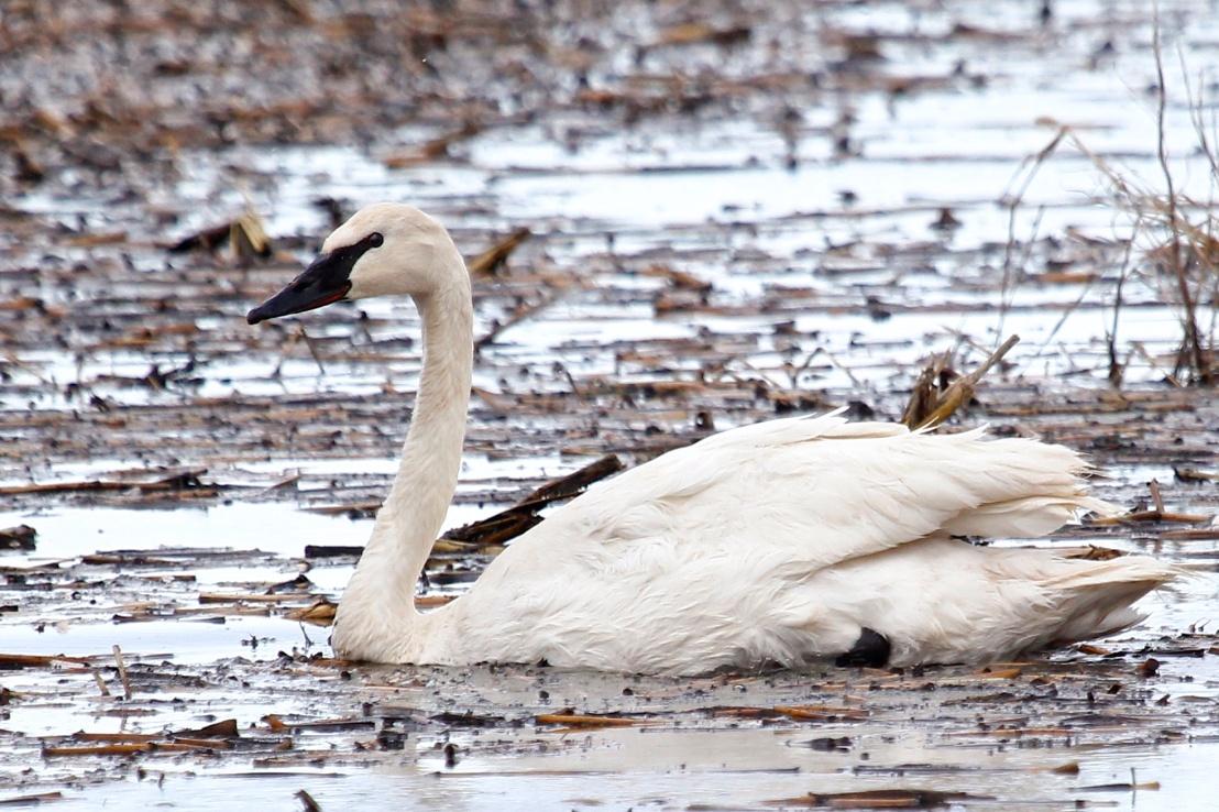 swan trumpeter