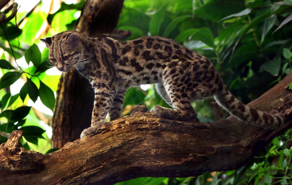 Margaykat_Leopardus_wiedii