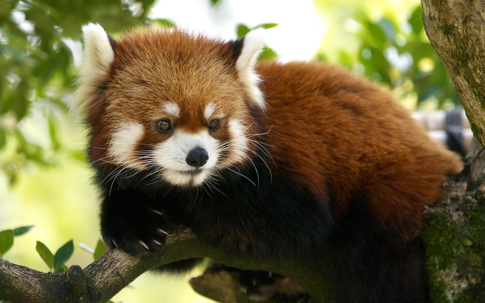 cute-red-panda-gif-wallpaper-3