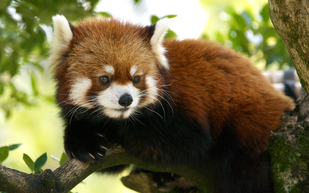 cute-red-panda-gif-wallpaper-3