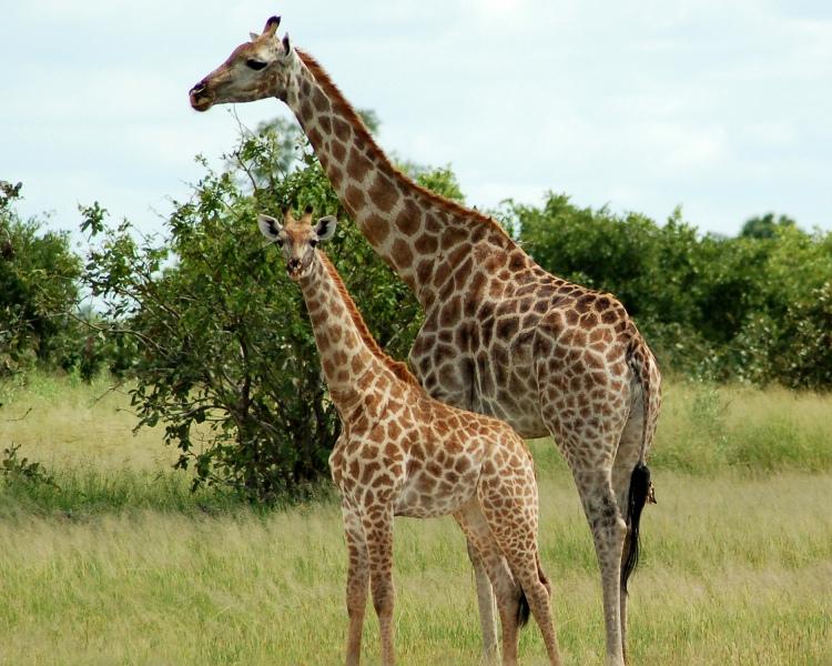 Giraffe with kid